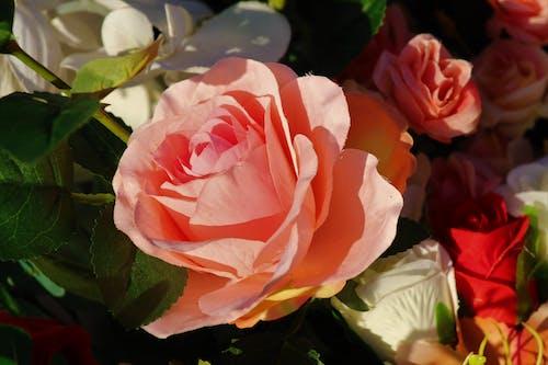 ピンクのバラの無料の写真素材
