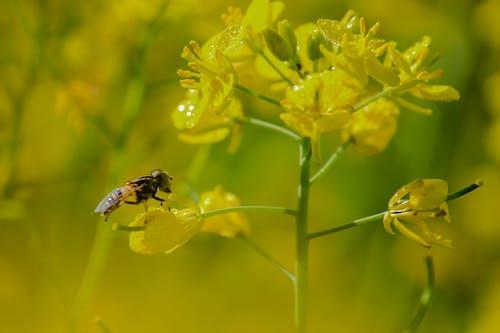 Foto d'estoc gratuïta de abella, camps de mostassa, natura