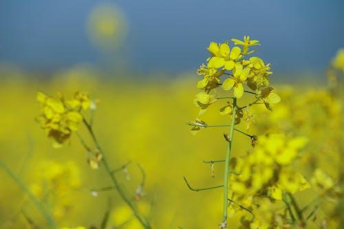 Foto d'estoc gratuïta de flor de mostassa, fotografia de natura