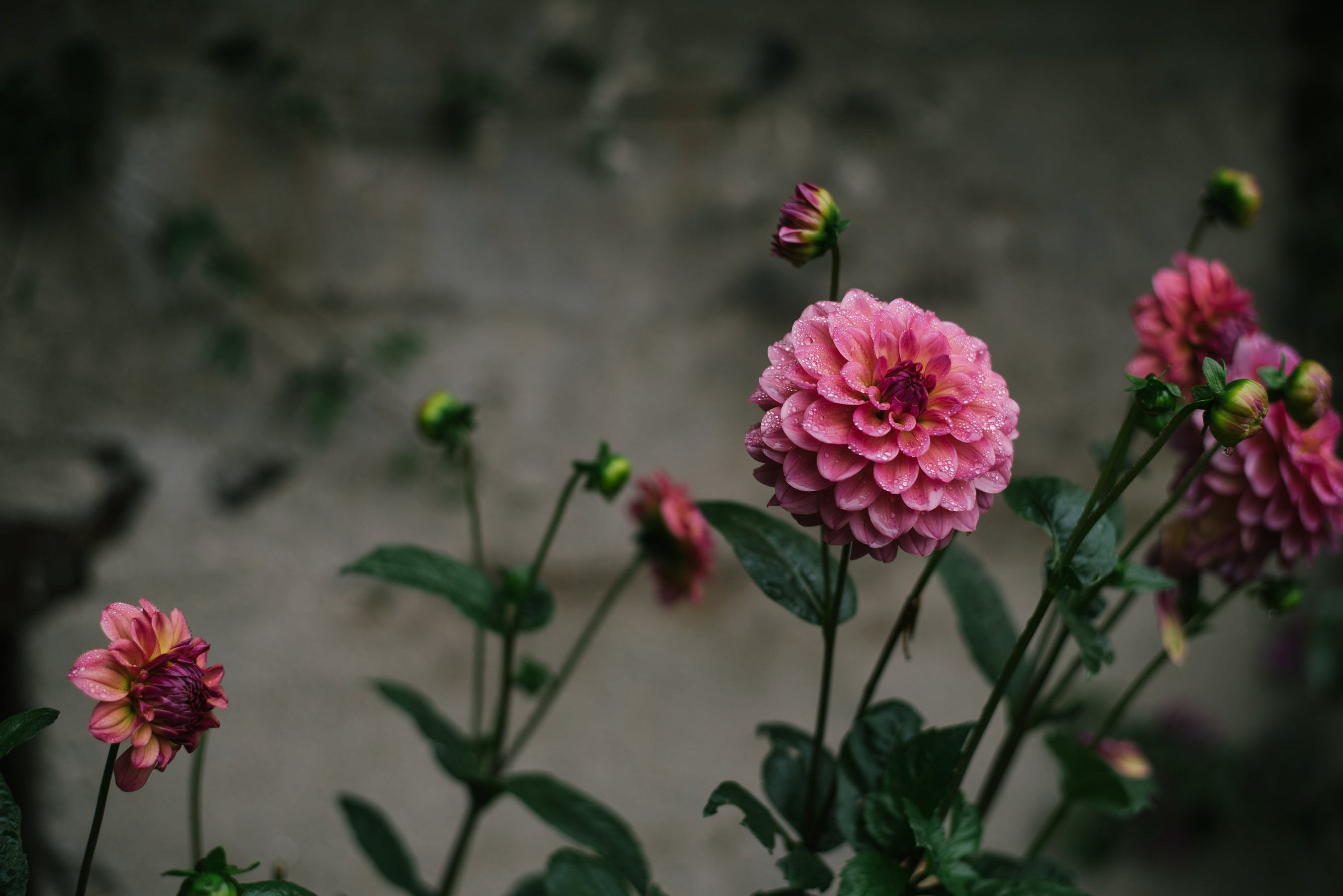 Kostenloses Stock Foto zu blume, blütenblatt, farbe, flora