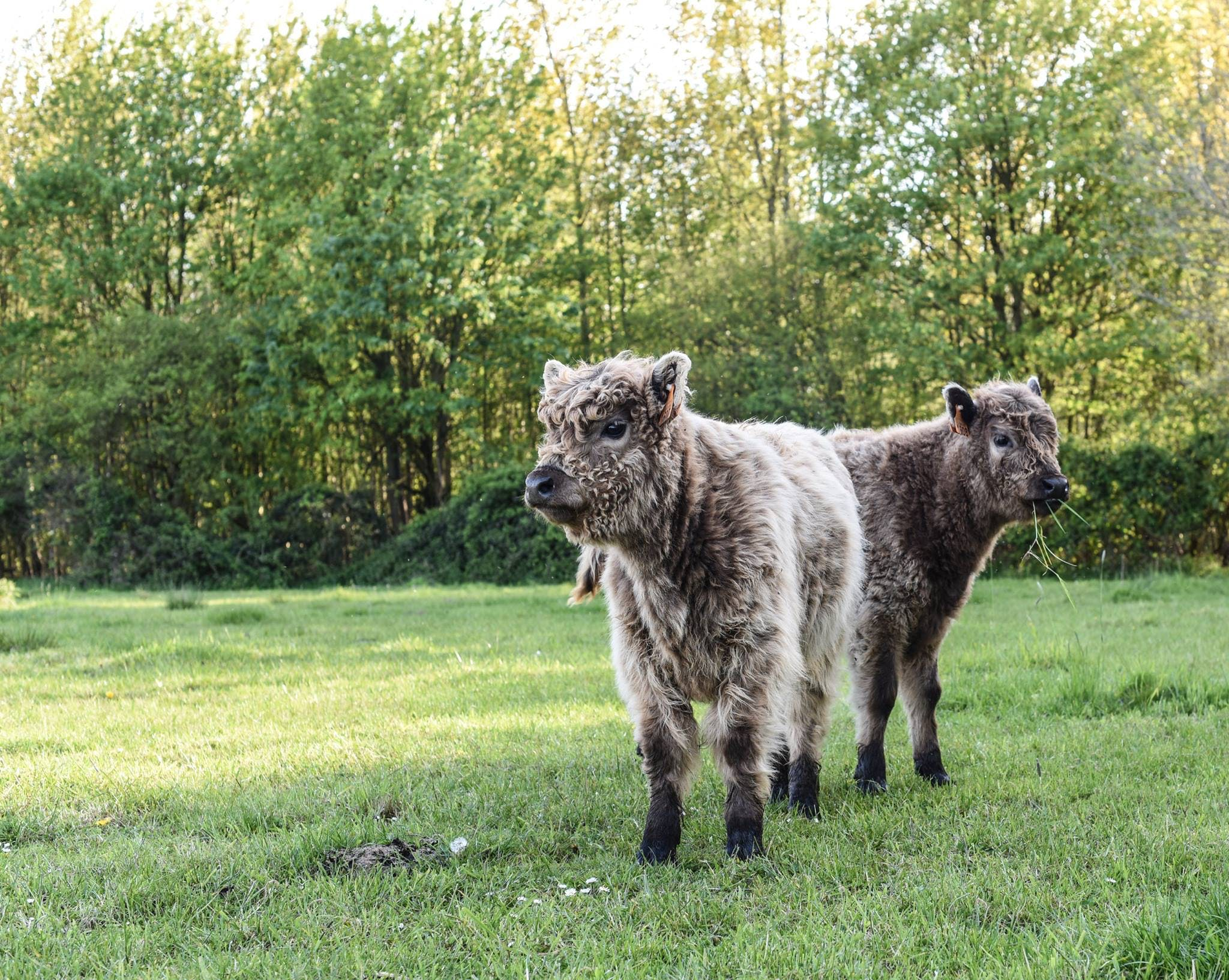 baby cow, brown, cow