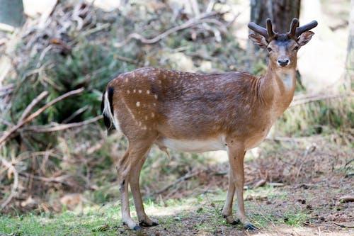 Free stock photo of animal, animal photography, deer, nature