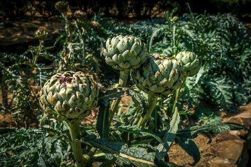 Close-Up Photo of Fresh Green Artichoke Vegetables
