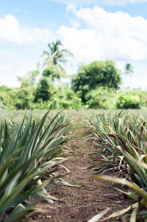 Free stock photo of evergreen, green, pineapple plant