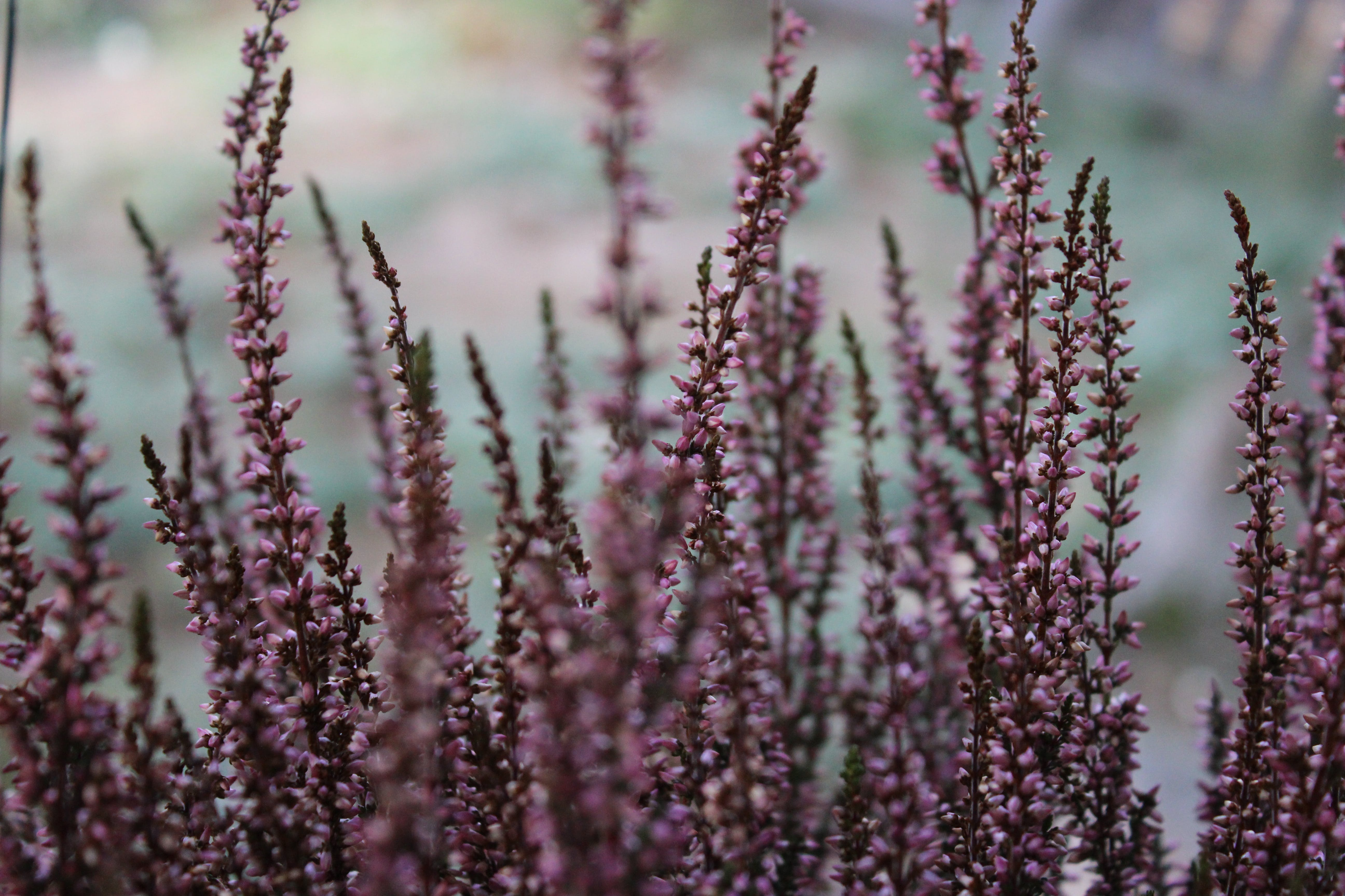 Selective Focus Photography Of Purple Flower Buds