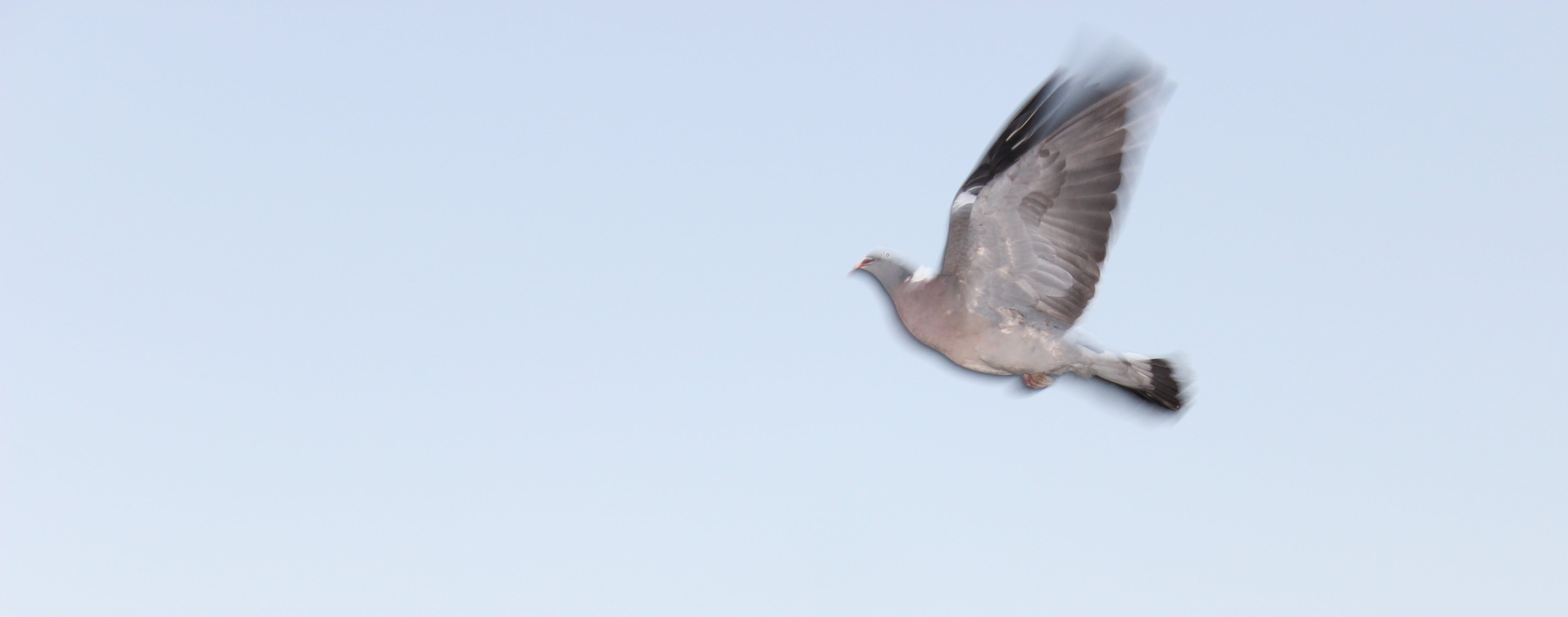 Free stock photo of dove, flying