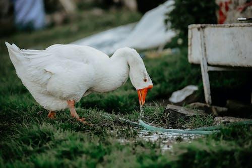 White Swan on Green Grass