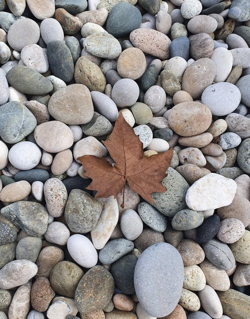 Close-Up Photo of a Dry Maple Leaf on Gray Pebbles