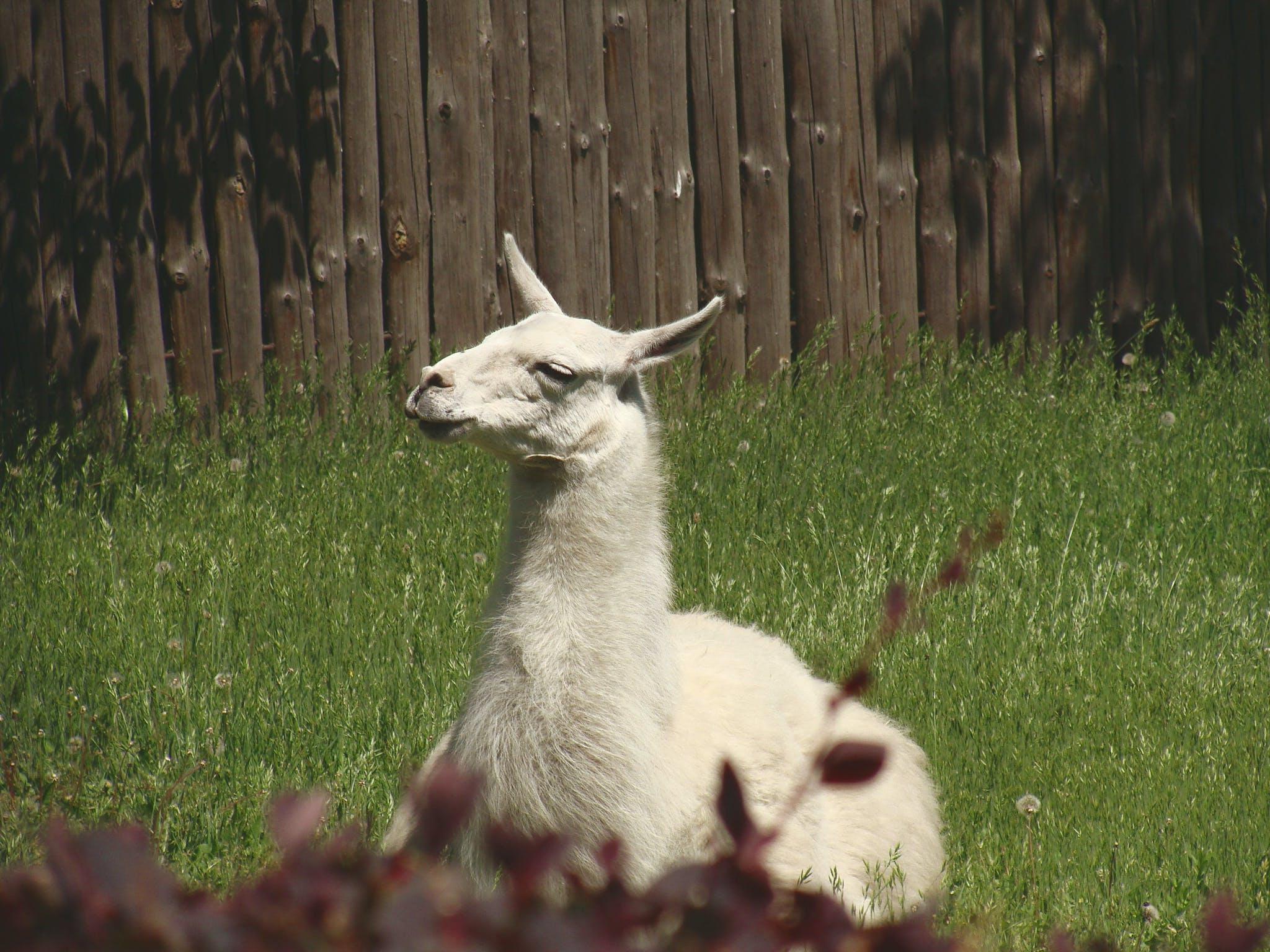 White Llama Lying on Green Grass Under Sunny Sky during Daytime