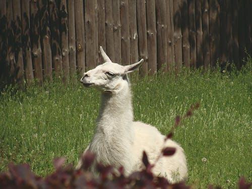 Δωρεάν στοκ φωτογραφιών με lama glama, ζώο, λάμα, φωτογραφία ζώου