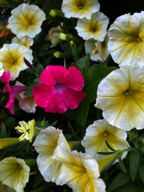 Gratis stockfoto met roze en gele bloemen