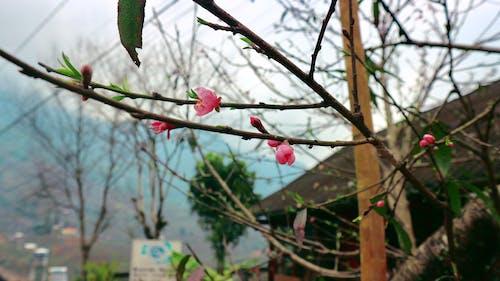 Základová fotografie zdarma na téma jarní květina, květy třešně