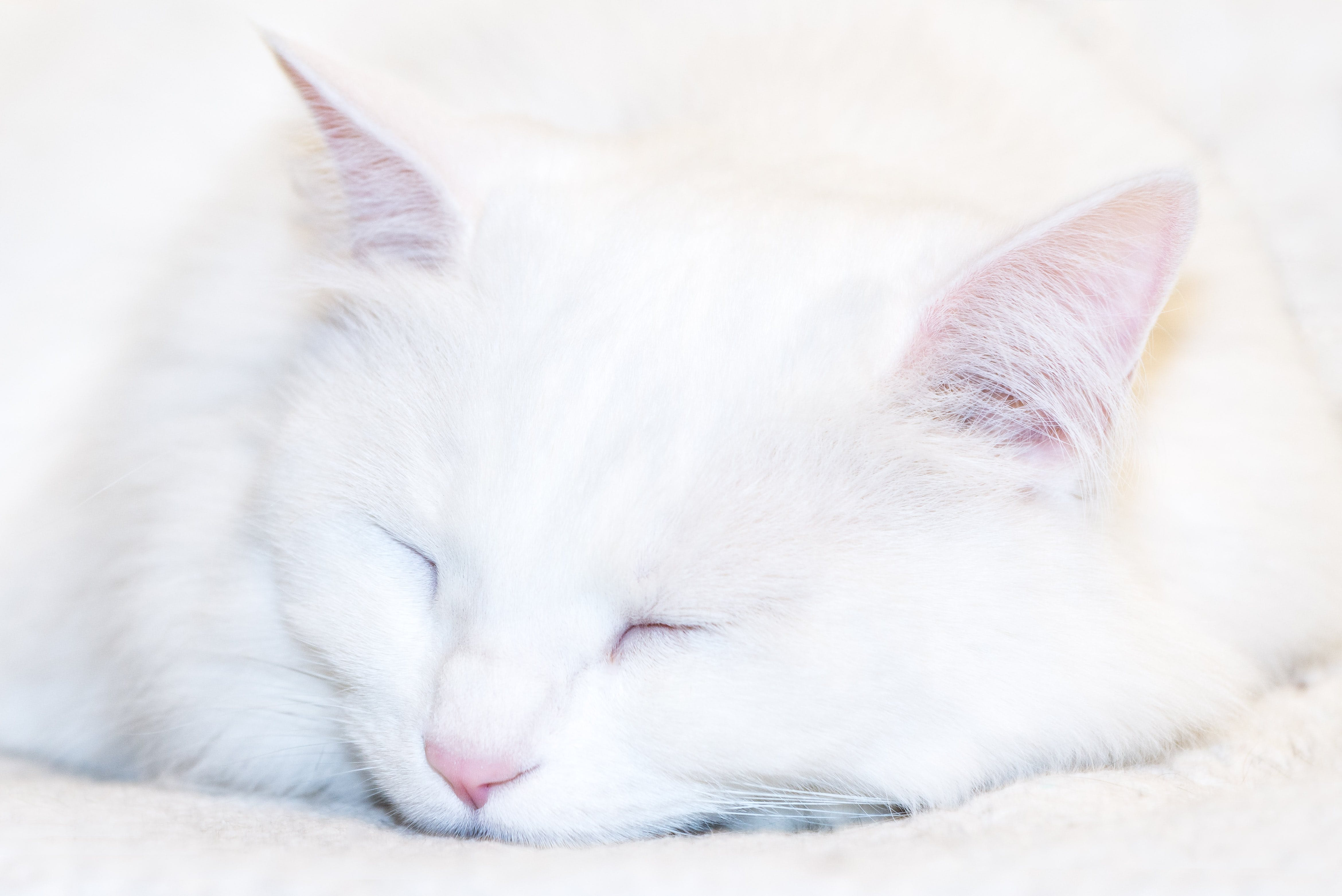 Photo Of White Cat Sleeping