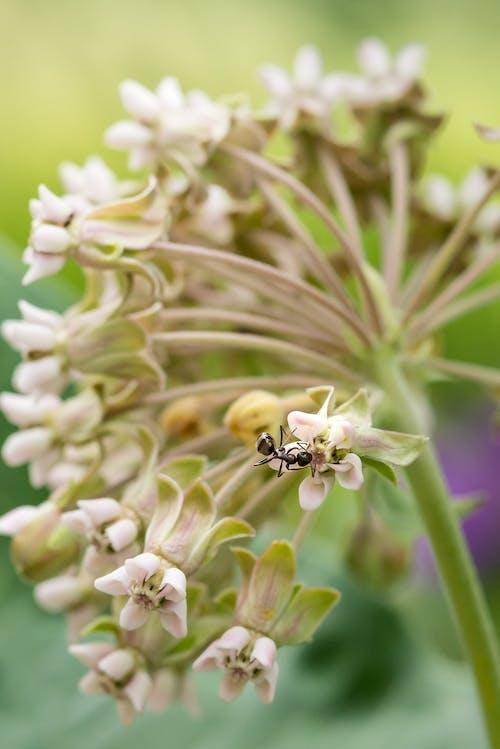 Photos gratuites de asclépiade, fleur, fourmi, insecte