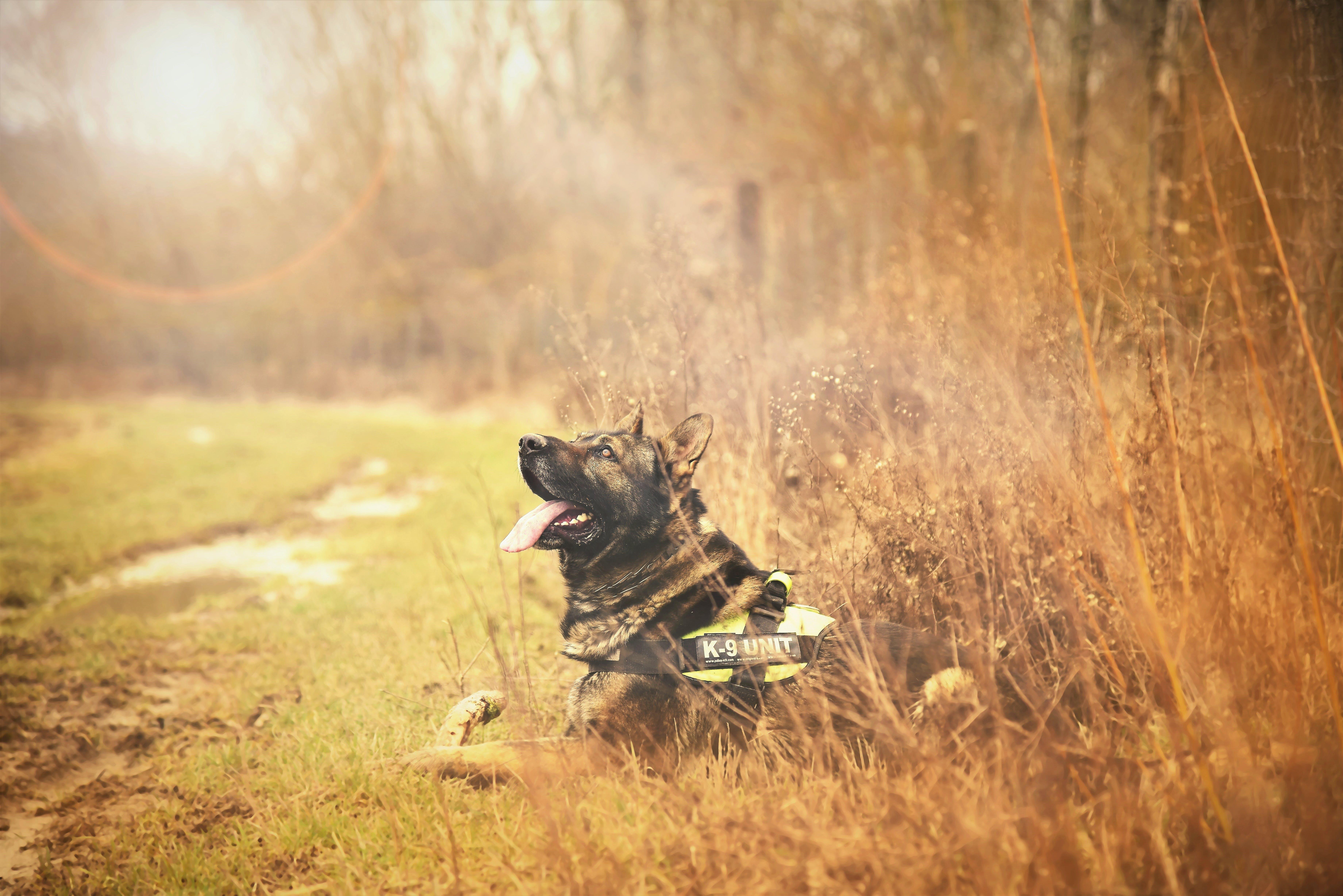 Tilt Shift Photo of an Adult German Shepherd