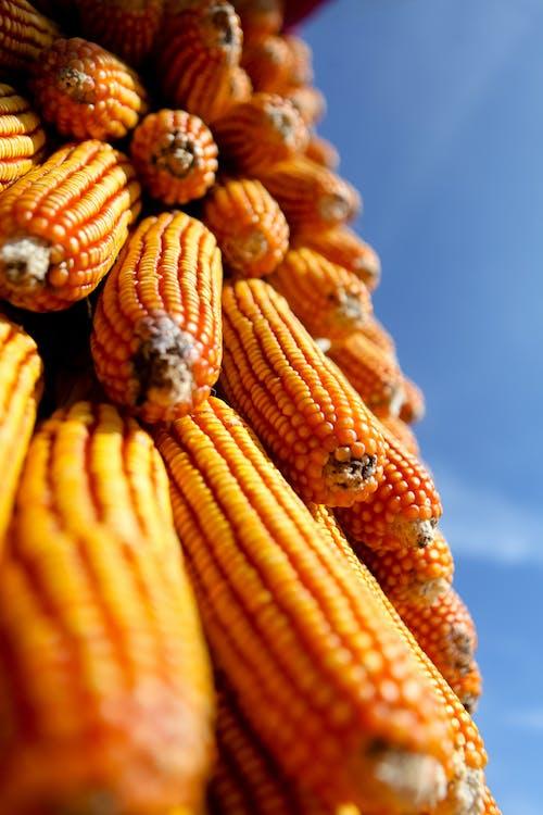 Low-Angle Shot of Corns