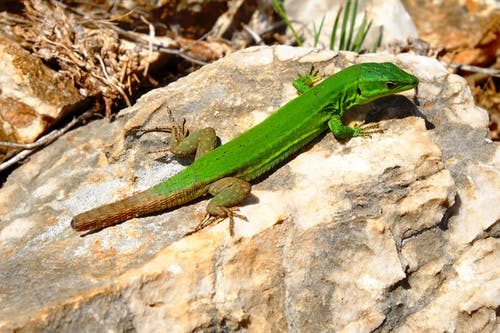 Green Lizard on Brown Rock