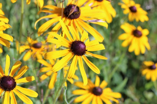 blackeyed 수잔, 노란색 꽃, 여름 꽃의 무료 스톡 사진
