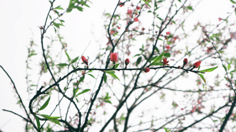 Δωρεάν στοκ φωτογραφιών με άνθος κερασιάς