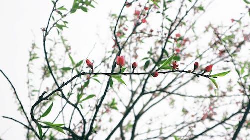 Základová fotografie zdarma na téma květ třešně