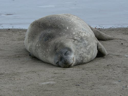 Close-Up Photo of a Weddell Seal Sleeping