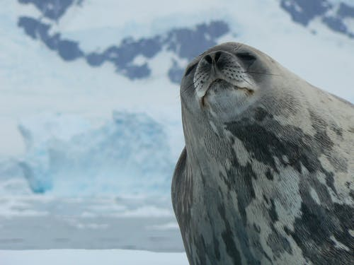 A Weddell Seal in Close-Up Photography