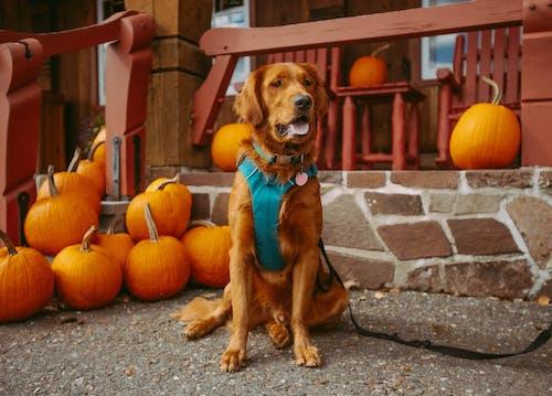 Δωρεάν στοκ φωτογραφιών με @εξωτερικου χωρου, golden retriever, halloween