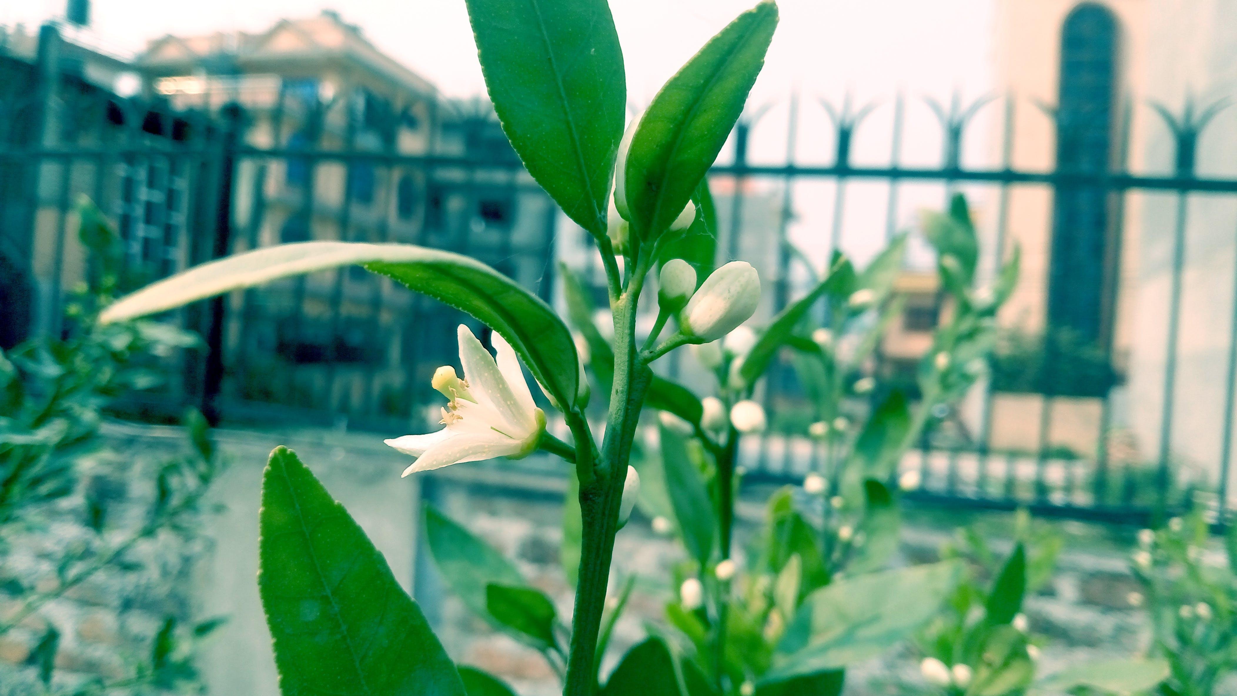 Free stock photo of HD wallpaper, Lemon flower