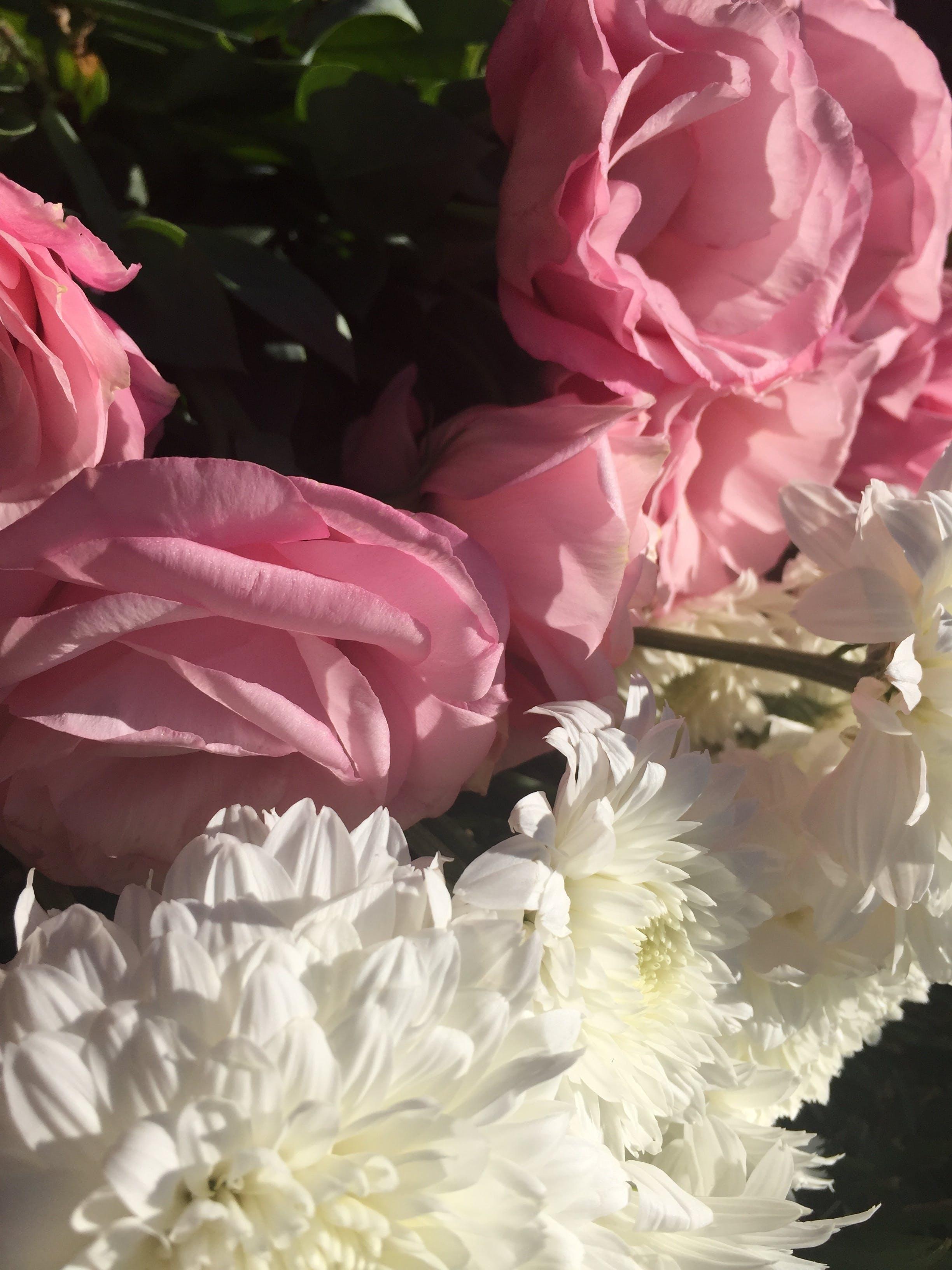 Free stock photo of flowers, white, pink, chrysanthemum