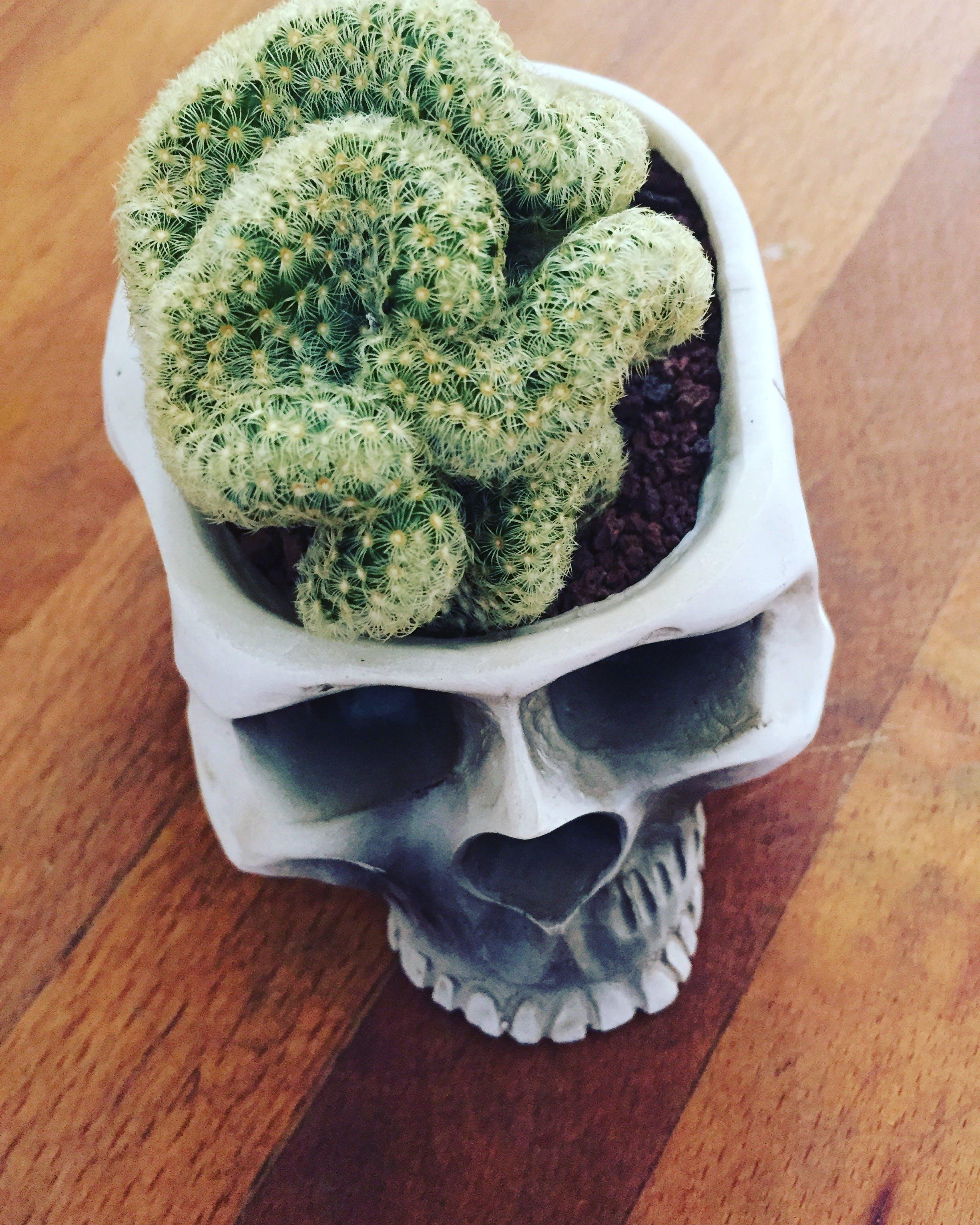 Free stock photo of cactus, skull, brain