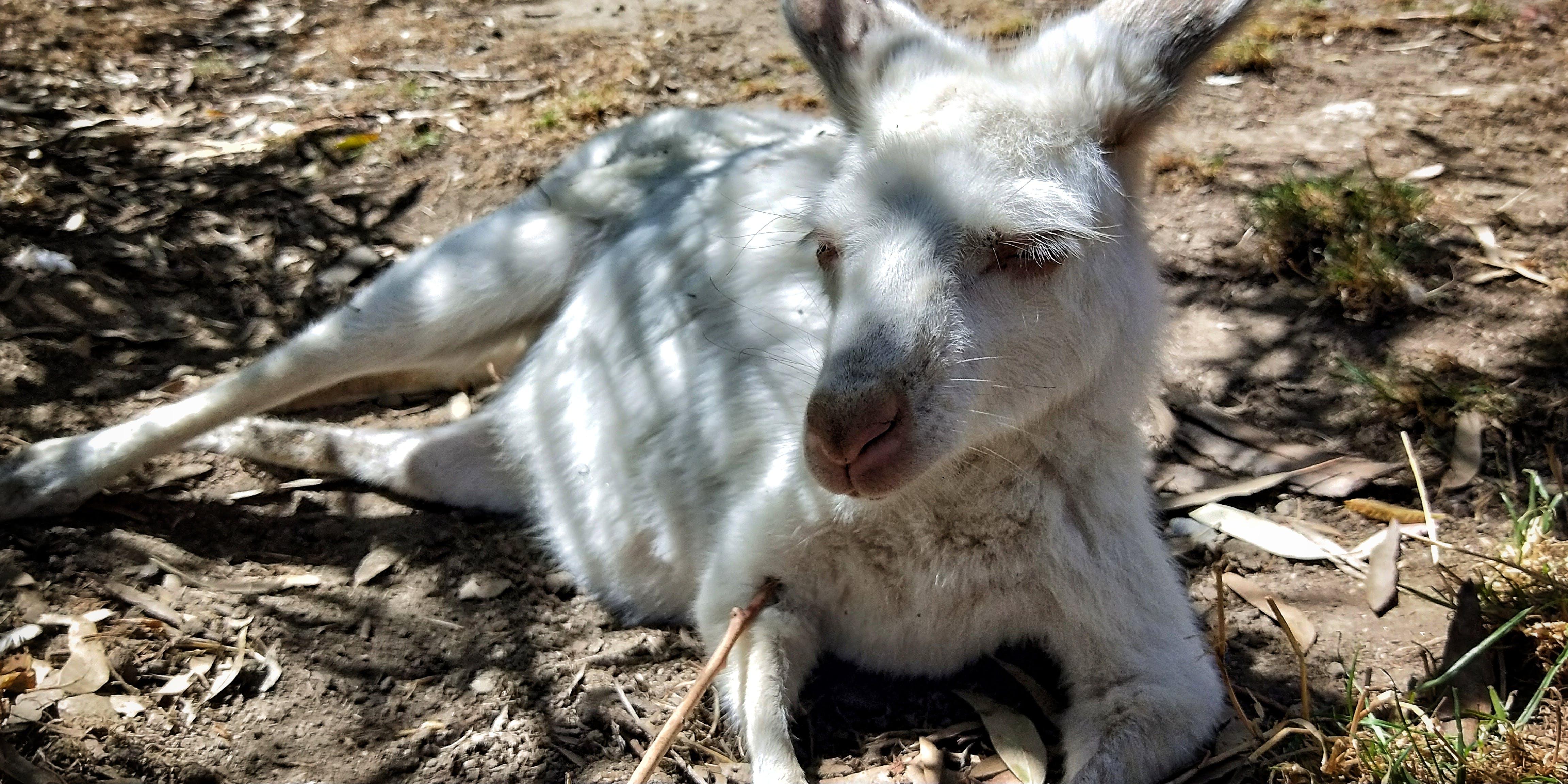 Foto stok gratis australia, kanguru
