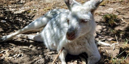 Безкоштовне стокове фото на тему «Австралія, кенгуру»
