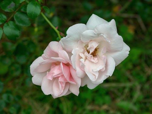 Ingyenes stockfotó kert, rózsa, szirmok témában