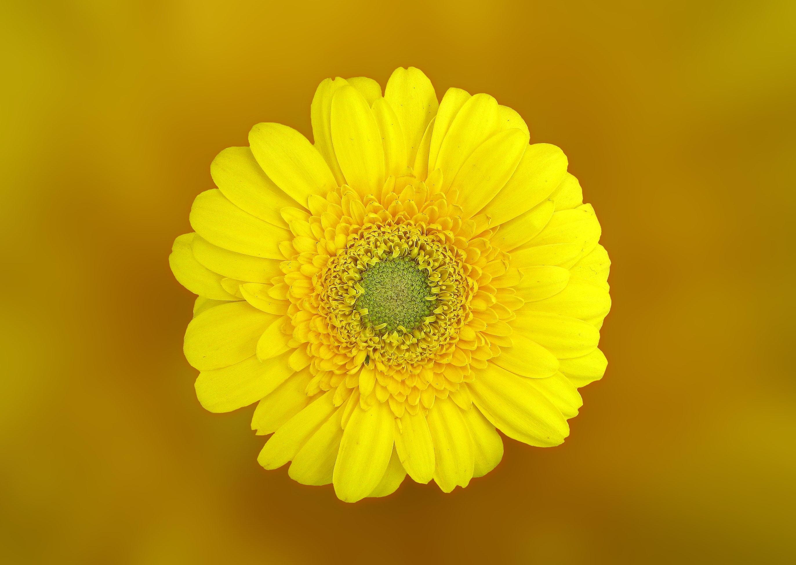 Yellow Daisy In Macro Shot Free Stock Photo