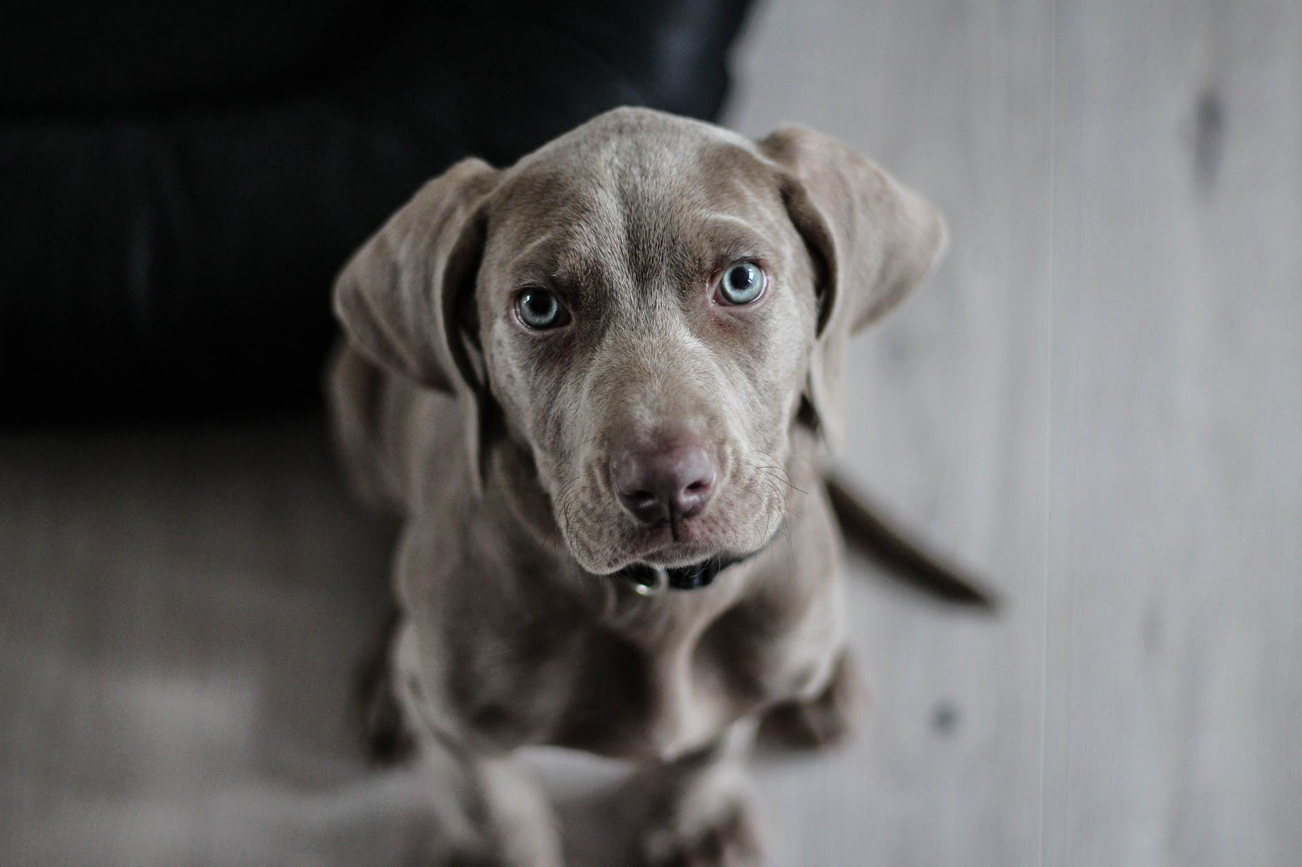 weimaraner-puppy-dog-snout-97082.jpeg?auto=compress&cs=tinysrgb&dpr=2&h=650&w=940
