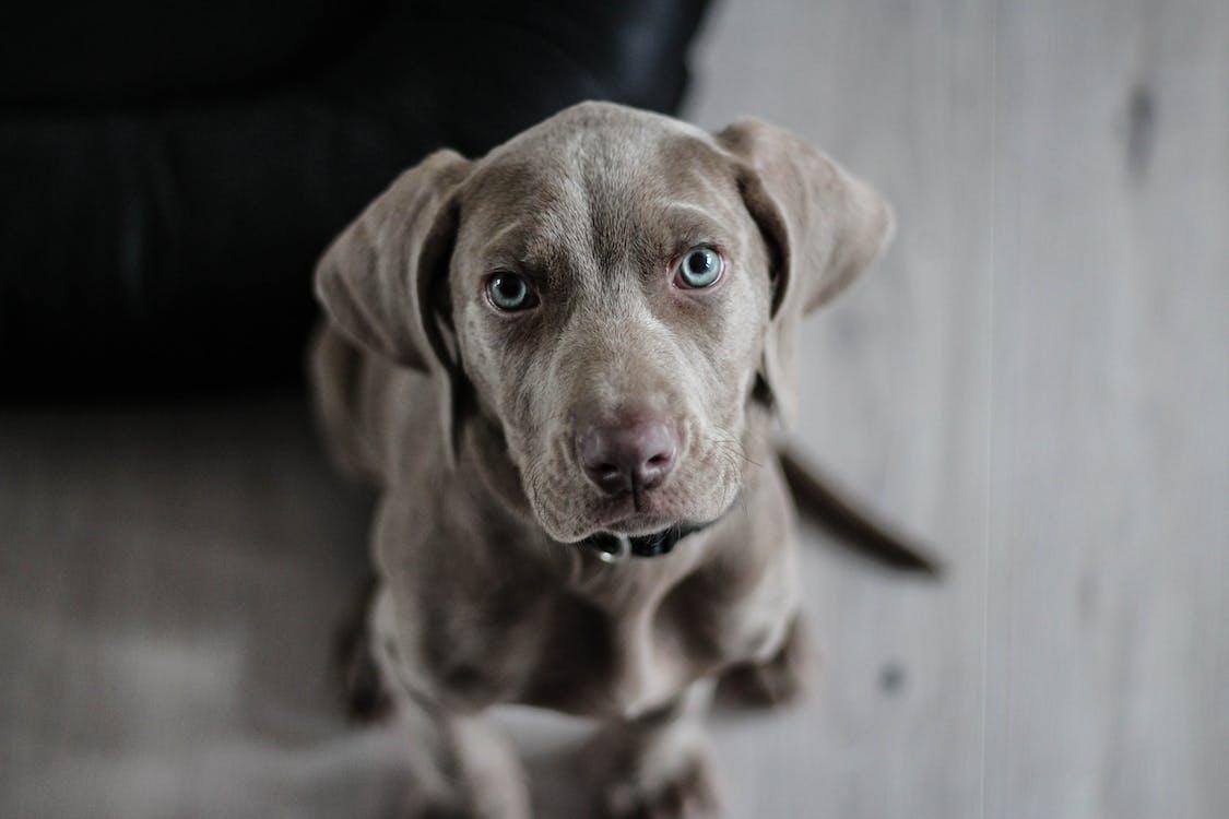 Chó đen Lông Ngắn Cỡ Vừa Trên Sàn