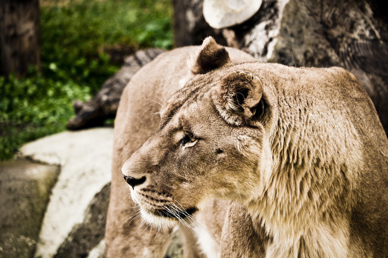 Kostenloses Stock Foto zu große katze, löwe, nahansicht, tier