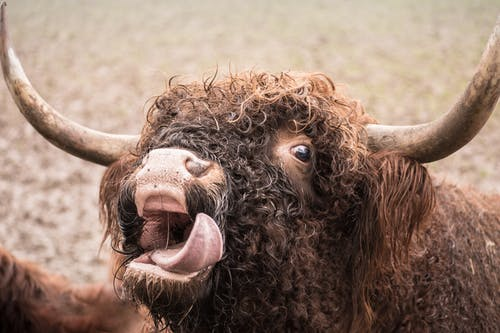 Free stock photo of animals, cattle, cow, crazy