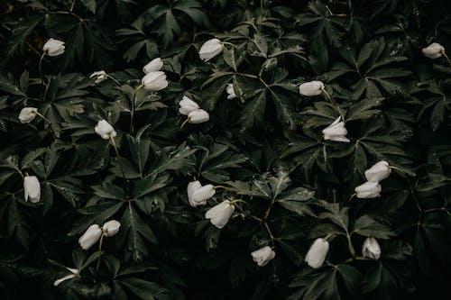 คลังภาพถ่ายฟรี ของ ดอกกุหลาบ, ดอกไม้ฤดูใบไม้ผลิ, ปาร์ค, พฤกษา