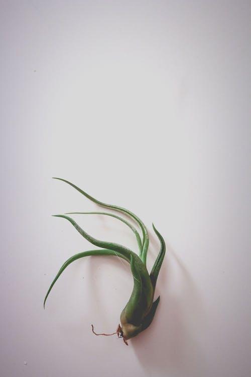Foto d'estoc gratuïta de arrels, planta, verd