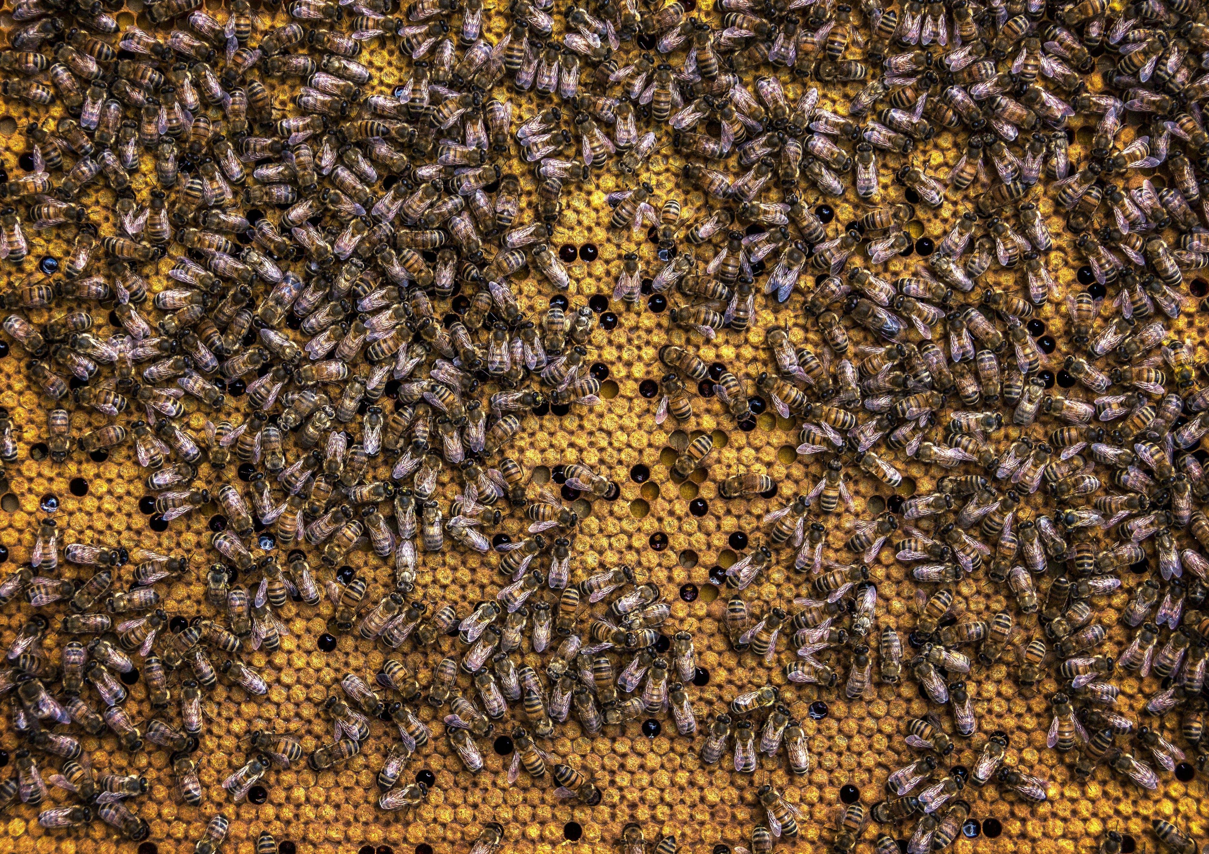 έντομα, κερήθρα, κερί μέλισσας
