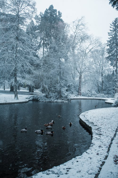 Immagine gratuita di acqua, alberi, anatre, congelato