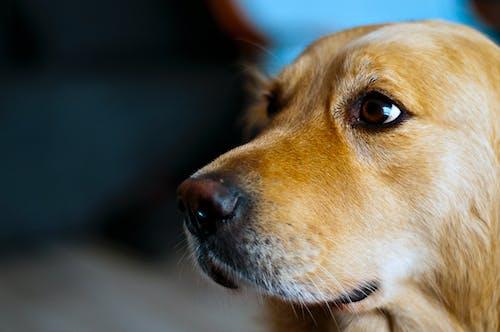 動物, 狗, 獵犬, 金色 的 免費圖庫相片