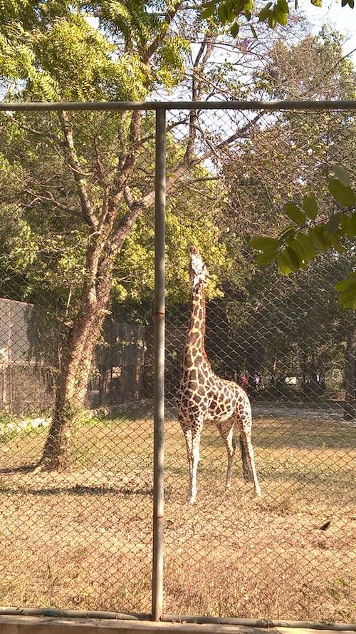 Free stock photo of giraffe, zoo