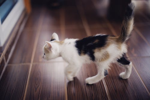 Close-Up Photo of a Calico Kitten on Wooden Floor