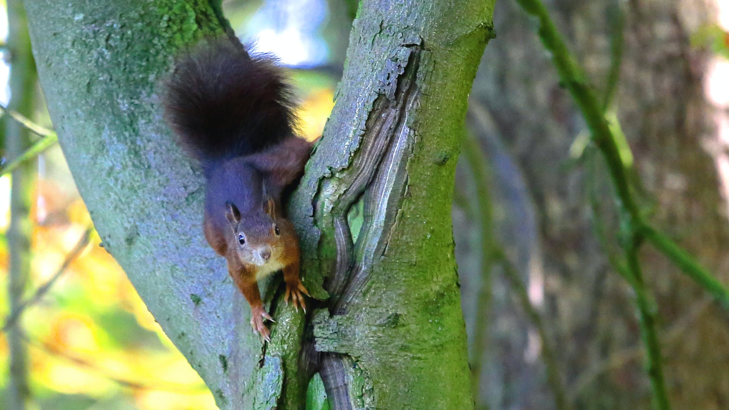 Brown Squirrel in Green Tree Trunk