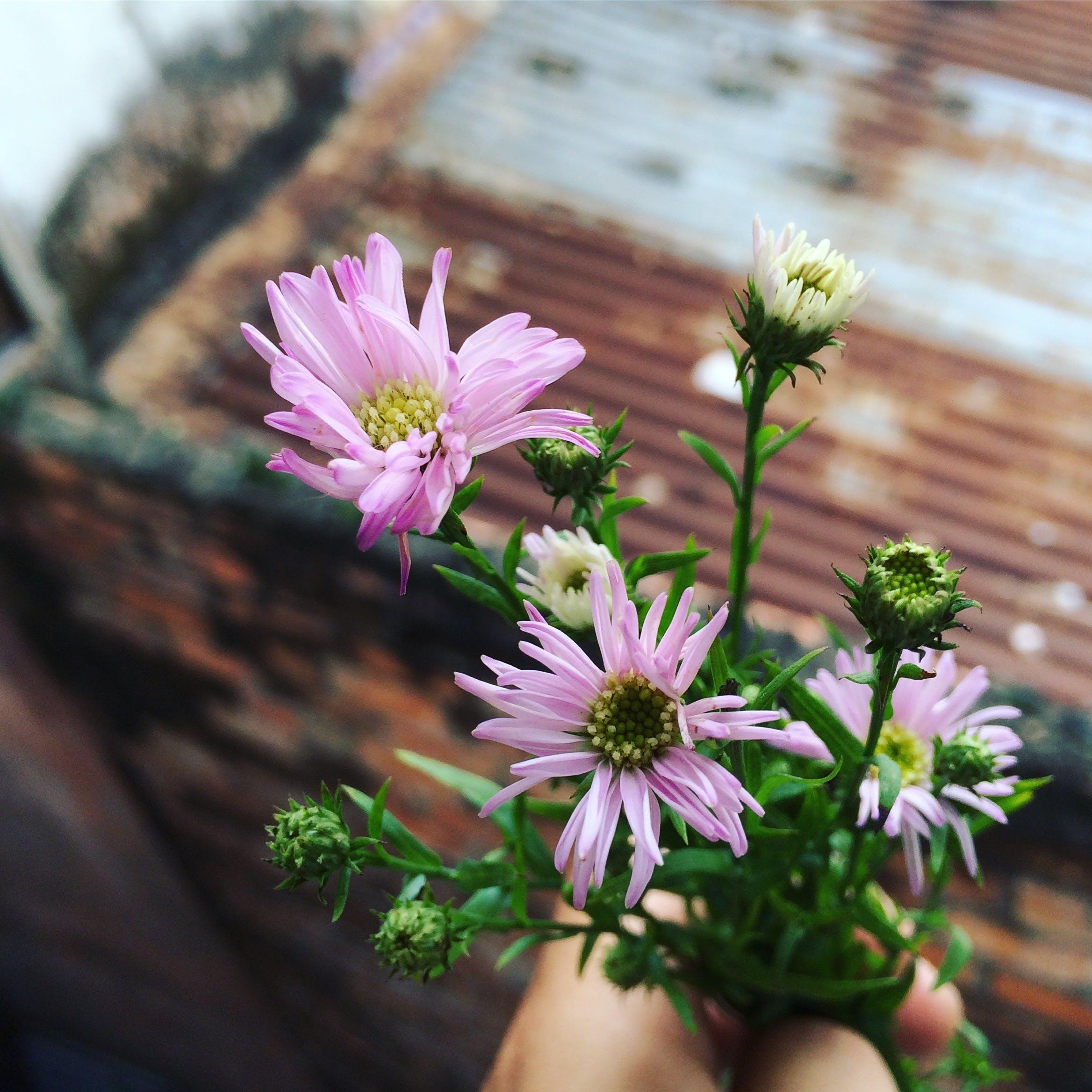 Δωρεάν στοκ φωτογραφιών με μαργαρίτα, μοβ, μοβ μαργαρίτες, πράσινος