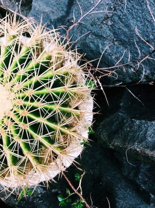 Gratis stockfoto met cactus, donkergroen, groen, natuur