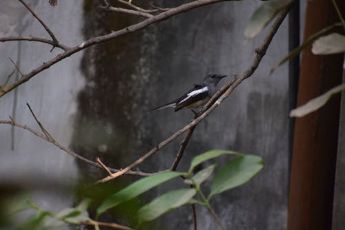 Free stock photo of magpie robin in my backyard