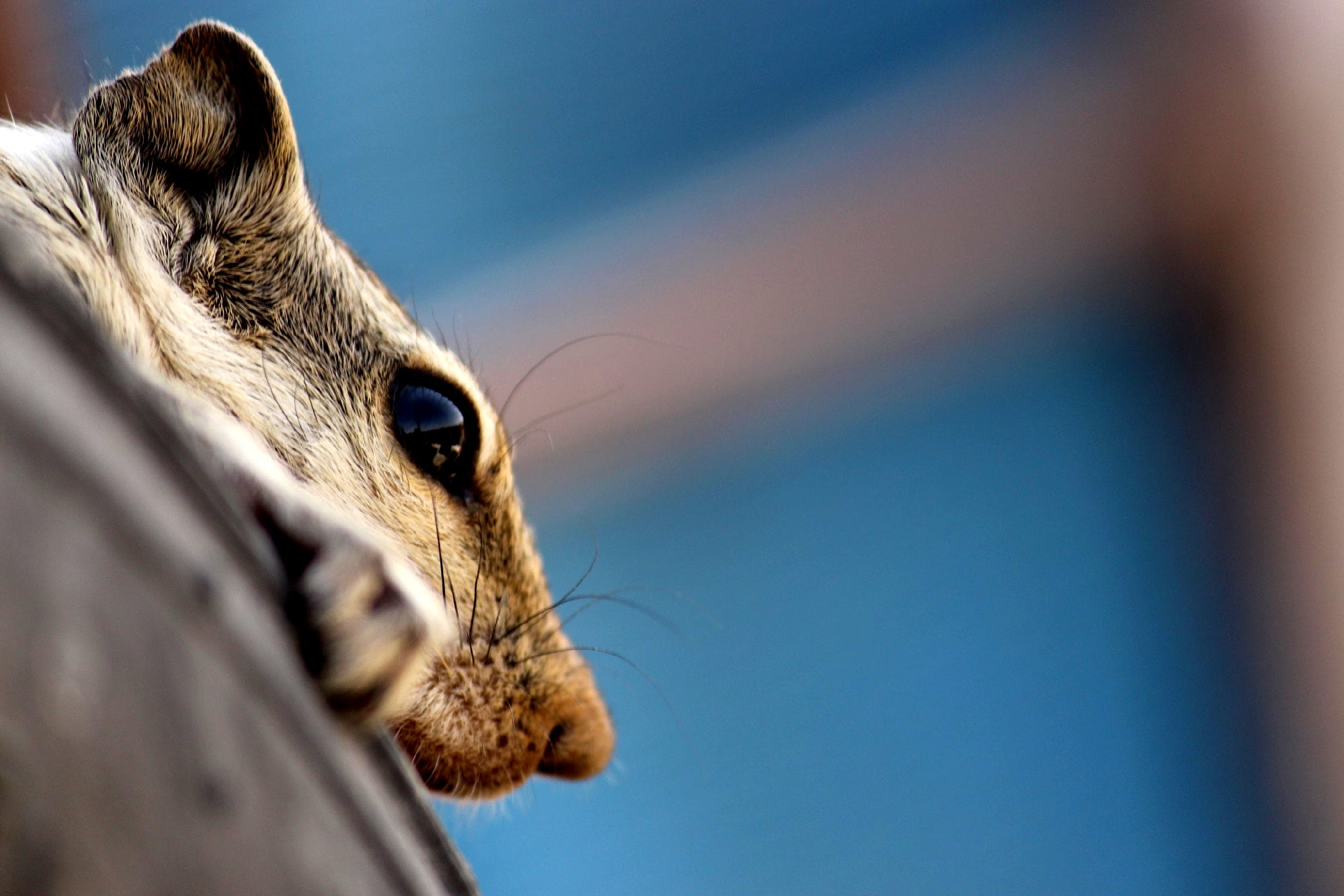 Grey Rodent Head